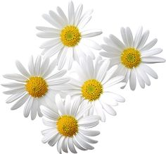 Transparent Daisies Clipart