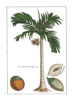 Coconut Palm Tree print  - Natural History Art Print - Coast Home Decor - 1785 Antique Illustration -Tropical Palm Wall Decor - Palm Springs...