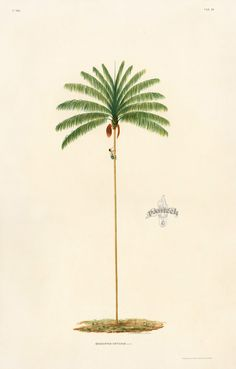 João Barbosa Rodrigues Sertum Palmarum Brasiliensium 1903 #brazil #brazilian #palmtree #botany #botanical