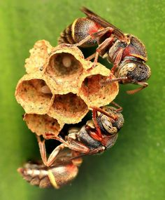 Fun fact! The ingenious paper wasp constructs its nest from a collection of fibers from dead wood and plant stems, bound together by saliva. They provide wonderful inspiration for thinking about how different organisms exploit their home, habitat or shelter – why not enter the Society of Biology's competition with your own spottings?  Paper wasps (Ropalidia gregaria) spotted by opzjon