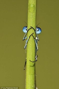 (via Thyme in the Garden / Damselfly can't hide. (Photo by Tony Flashman on imgfave) it's not a dragonfly, but I couldn't resist him Animals And Pets, Funny Animals, Cute Animals, Nature Animals, Beautiful Bugs, Amazing Nature, Beautiful Creatures, Animals Beautiful, Regard Animal