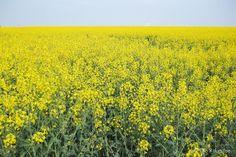 Die Raumfee: Am gelben Meer - Rapsfeld in Franken //  At the yellow sea - rape field in Franconia