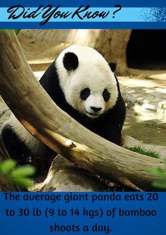 Due to this large diet, the giant panda can defecate up to 40 times a day.  #panda   #giantpanda   #animals