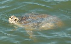 Port Aransas, Texas: Where the Sea Turtles Roam   El Blog de Joy