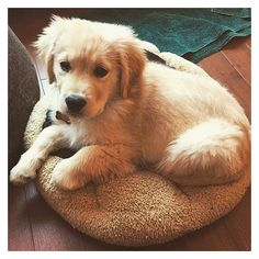 Golden Retriever Puppies ❤ liked on Polyvore featuring animals