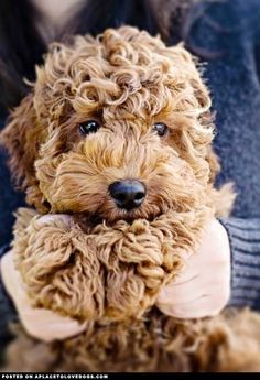 labradoodle puppy; so cute, it looks like a stuffed animal!