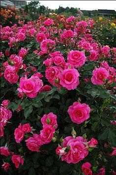 Pretty In Pink Eden