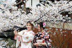 A magia das cerejeiras em flor no Japão