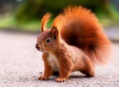 Eichhörnchen Portrait - Eichhörnchen Foto