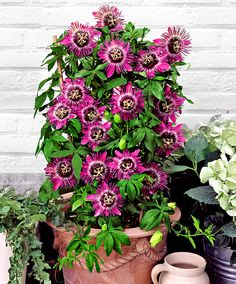 Passiflora 'Purple Rain'   Specials from Spalding Bulb