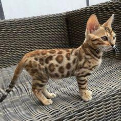 Cachorro de bengala, felino híbrido resultado del cruce entre un gato doméstico y un gato leopardo