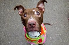 CHIPOTLE - A1100822 - - Manhattan  TO BE DESTROYED 01/14/17 **ON PUBLIC LIST** A volunteer writes: A tiny morsel of delicious is wagging her tail inside her kennel, her sparkling eyes saying, 'take me out'. I do, she goes potty as soon as we're outside and off we go for a short walk. Chipotle allows me to put a coat on her, is bouncy on leash, her tail wags, and she looks up as we go. Stopping briefly for some photos she poses with a perfect sit, wags her