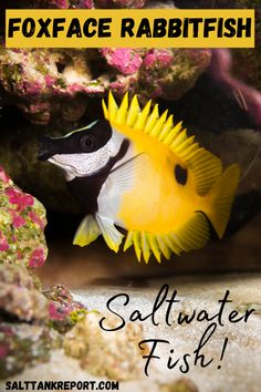 Reef safe saltwater fish for beginners. The Foxface Rabbitfish is a very unique fish that are coral safe. #saltwaterfish #fishtanks #aquariumfish #saltwatertanks Saltwater Tank, Saltwater Aquarium, Fishing For Beginners, Salt Water Fish, Small Fish, Reef Aquarium, Soft Corals, Fish Tank, Aquarium