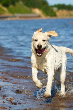 Pin By Agneta Svensson On Dogs Labrador Retriever Labrador Golden Retriever Labrador