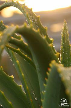 Aloe arborescens sous le soleil #AloeArborescens #Aloe #AloeVera #nature #plantes #jardinage Aloe Vera, Photo Images, Plantation, Plant Leaves, Green, Nature, Lawn And Garden, Plants, Sun