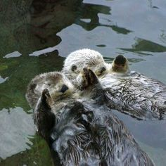 I have otter love for otters! Cute Creatures, Beautiful Creatures, Animals Beautiful, Cute Baby Animals, Animals And Pets, Funny Animals, Sea Otters Holding Hands, Otter Love, Baby Otters