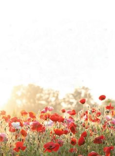 Poppies (by nrillustration)