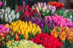 tulips garden care garden care photos medicinal plants give us life justify, Flowers Today, Send Flowers, Cut Flowers, Fresh Flowers, Spring Flowers, Flower Bouquets, Tulips Garden, Daffodils, Planting Flowers