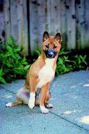Image result for New Guinea Singing Dog