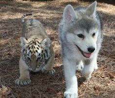 just a baby wolf and tiger cub hanging out pic.twitter.com/D7VMzkYOeN