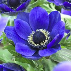 Blue flowers have a special magic. In zones plant these anemone bulbs in fall for spring blooms. In cooler areas, plant in spring for late summer flowers. Garden Bulbs, Planting Bulbs, Planting Flowers, Flowers Garden, Fall Planting, Spring Flowering Bulbs, Spring Bulbs, Spring Blooms, Exotic Flowers