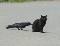 Nevermore… Black Cat and Black Crow The Crow, Animals And Pets, Funny Animals, Cute Animals, Memes Arte, Jackdaw, Crows Ravens, Tier Fotos, I Love Cats