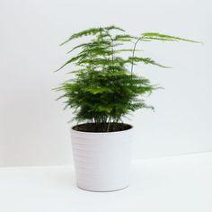 Asparagus Fern Also Known As Plumosa Fern House Plant