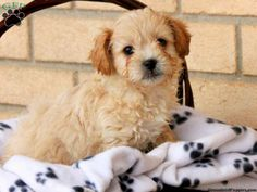Risa, Peek-A-Poo puppy for sale from Lititz, PA