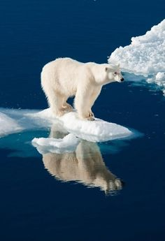 big polar bear standing on ice