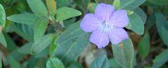 Ruellia squarrosa (blue shade ruellia) - groundcover possibility