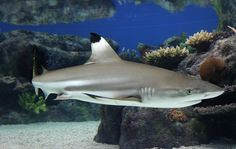 Black Tip Reef Shark Tank Blacktip reef shark