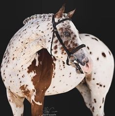 Clip Clop Photography - Bay Leopard Appaloosa with a Mismark All The Pretty Horses, Beautiful Horses, Animals Beautiful, Cute Animals, Caballos Appaloosa, Appaloosa Horses, Leopard Appaloosa, Cute Horses, Horse Love