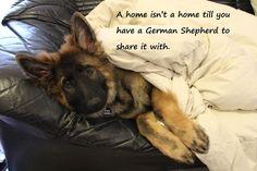 From my GSD FB Page German Shepherd Dogs Australia. My GSD Cujo https://www.facebook.com/German.Shepherd.Dogs.Australia?ref=tn_tnmn