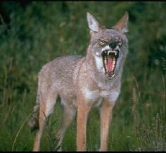 Coyote Attacks   Coyote attacks on the rise - Los Angeles San Fernando Valley ...