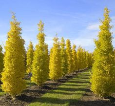 Goldspire Gingko is perfect for areas where a colorful tree is desired that won't take up a lot of space. This trees grows in a pyramidal shape and grows tall while never growing too wide. It's perfect for privacy screens, hedges, or even wind breaks. Privacy Trees, Privacy Plants, Wind Break, Fast Growing Trees, Foundation Planting, How To Grow Taller, Colorful Trees, Small Trees, Plantation