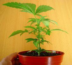 Plantas y Hierbas Curativas. Cómo Prepararlas y Aplicarlas para Sacar el Mayor Provecho.