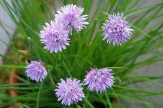 Saviez-vous que les fleurs de ciboulette étaient comestibles ?