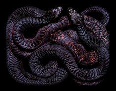 Serpentes, a série 12
