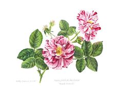 Kathy Cranmer | American Society of Botanical Artists