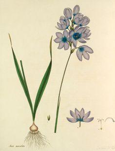 Plate 196, Vol I, Henry Charles Andrews Tavlor, Glicée & Canvas från Easyart.se
