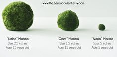 TOP SELLER Nano Japanese Marimo Moss Ball by theZenSucculent