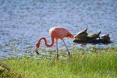 Flamenco (Phoenicopterus ruber)   Flickr - Photo Sharing!
