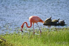 Flamenco (Phoenicopterus ruber) | Flickr - Photo Sharing!