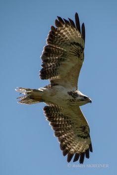 Common Buzzard  (Buteo buteo) –  Wingspan 110–140cm  (43–55 in) - via Robert SKREINER's photo on Google+