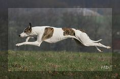 Magyar Agar, Puppy Mills, Puppies, Abstract, Dogs, Animals, Anatomy Reference, Greyhounds, Animales