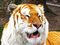 Golden Tiger | The Golden Tabby Tiger by ~fennecx on deviantART