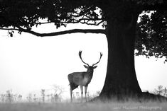 Black and white photograph by Jane Mucklow of a male deer standing under a tree Knole Park, Sevenoaks, Kent Available as a greetings card and print. Male Deer, Deer Photography, Buy Canvas, Place Settings, Mists, Wild Flowers, Framed Prints, Photographs, Photos