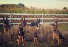 """""""Hay!"""" It's a group of GSD's !!!"""