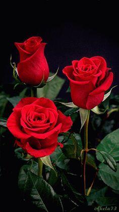 розы | Цветы. | Постила