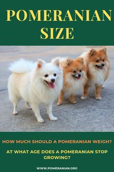 how big are Pomeranians? how big do pomeranians get? at what age does a pomeranian stop growing? how much do pomeranians weigh? how much should a pomeranian weigh? Pomeranian Facts, Pomeranian Breed, Pomeranians, Pomeranian Haircut, Teddy Bear Puppies, Baby Puppies, Cute Puppies, Pom Dog, Puppy Facts